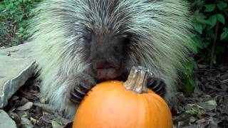 Zooniversity's favorite porcupine, Teddy Bear, gets to try his first pumpkin. Listen carefully and he'll tell you what he thinks of this holiday treat. SEE A...