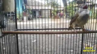 Masteran burung Kapas Tembak Gacor Rapat