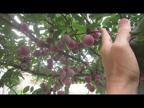 My Secret To Huge Fruit Tree & Berry Harvests