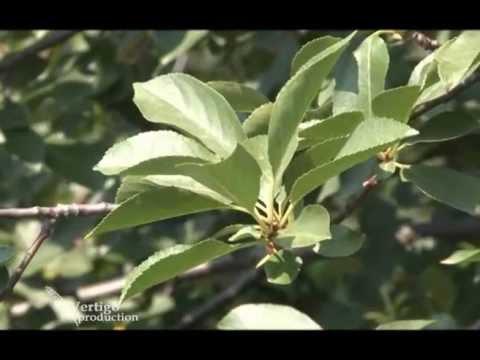 Zaštita višnje posle berbe