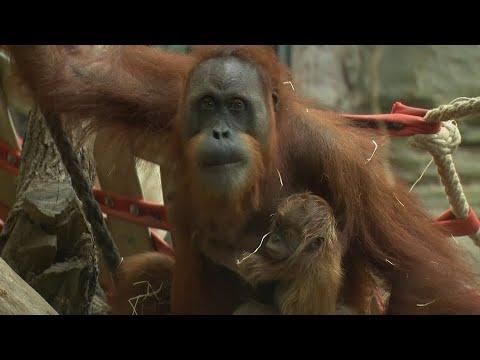 Frankfurt am Main: Orang-Utan-Baby im Frankfurter Zoo g ...