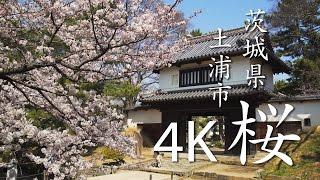 【絶景茨城】桜[4K]茨城県土浦市|VISIT IBARAKI, JAPAN