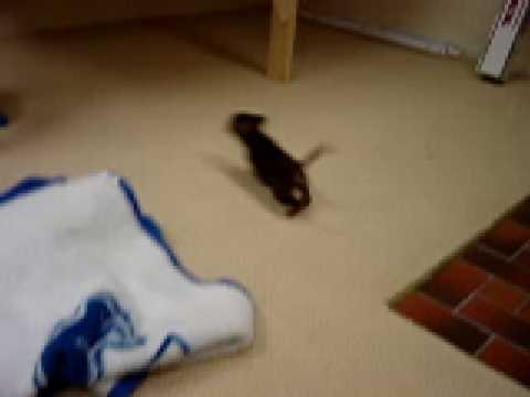 Chihuahua Puppy gone Wild