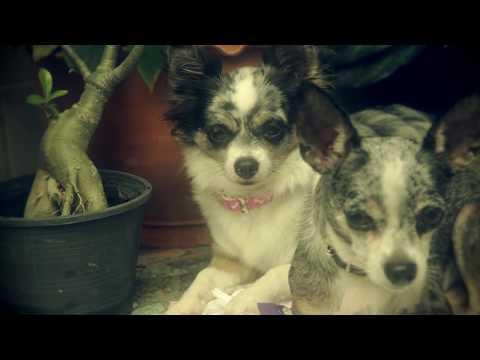 Чихуахуа Софи о прививках собаке