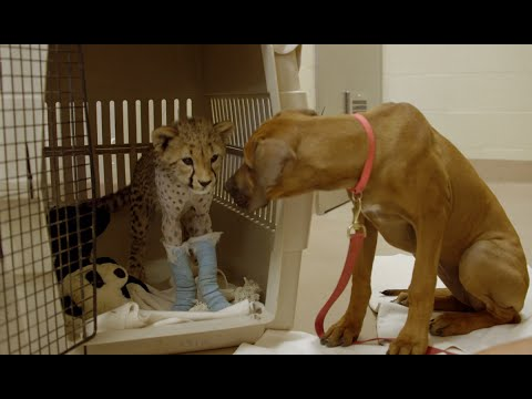 Cheetah Cub Recovers from Surgery with Puppy Best Friend