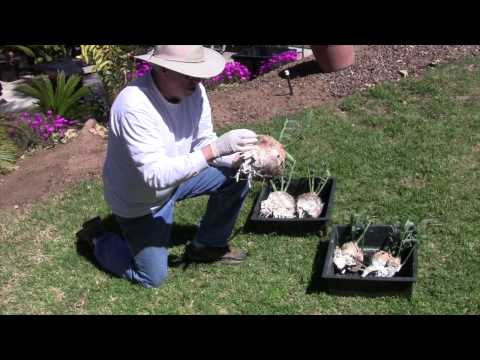 how to replant sago palm pups