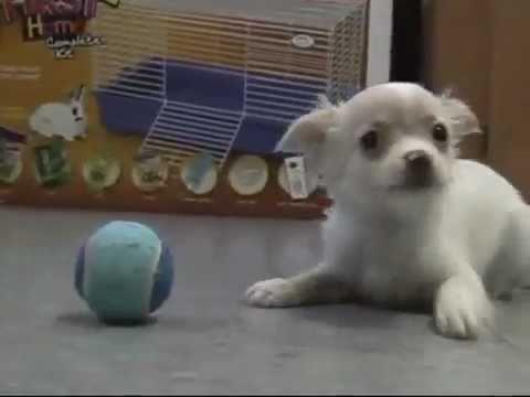 cucciolo di chihuahua insegue la palla e saluta
