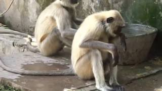 Samod India  city images : Langurs(monkeys) Of Samod Village Rajasthan India