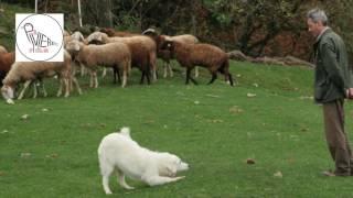 Almo Nature, ecco la fase finale dell'addestramento dei pastori maremmani