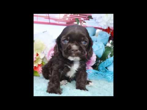Calvin AKC Chocolate Male Cocker Spaniel Puppy for sale