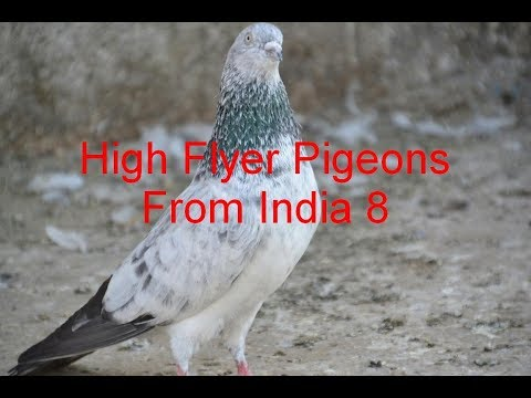 indian pigeon - NOT FOR SELL Pigeon of Khalid Sayed very good quality pigeon from surat gujrat india.