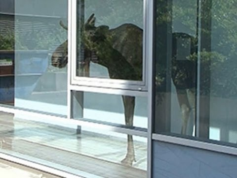 office - A young bull elk wandered inside the office building of a company in Dresden, Germany on Monday. The elk became trapped between a wall and glass windows while rescue workers tried to rescue...