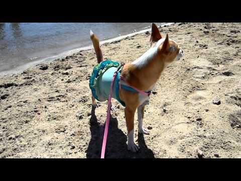 My Barking Chihuahua