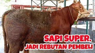 Video SAPI SUPER, Jadi Rebutan Calon Pembeli. MP3, 3GP, MP4, WEBM, AVI, FLV April 2019