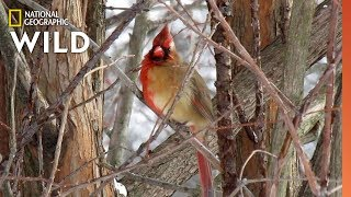 Exclusive Video Reveals Half-Male, Half-Female Cardinal | Nat Geo Wild by Nat Geo WILD