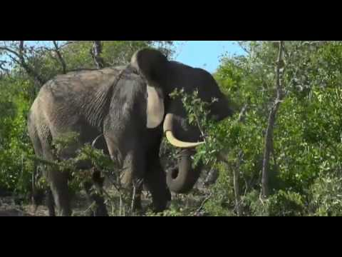 Elephant Eating Habit In Africa Natural Life Part Ii