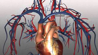 The Heart And Major Vessels - PART 2 - Anatomy Tutorial