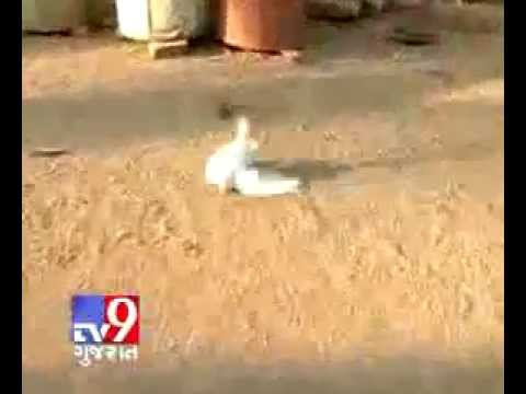 Video Loton Pigeon download in MP3, 3GP, MP4, WEBM, AVI, FLV January 2017