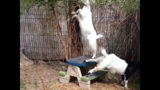 animale capra blocata