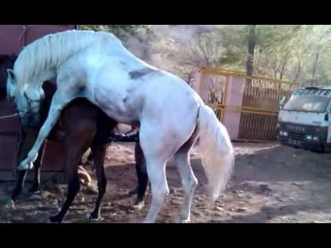 Horse mating, Cruzamento de cavalo Sete-Sois e I-Estrela Al-Maisan