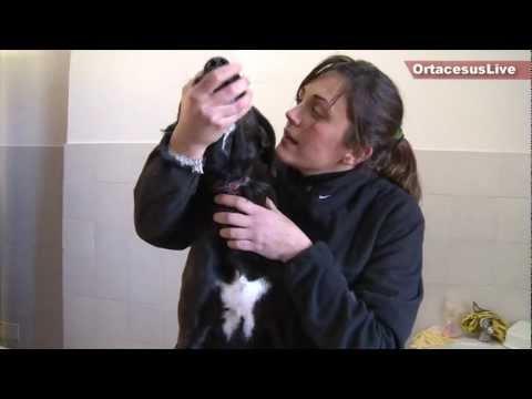 Pongo, il cane salvato dalle torture di un collare