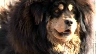 Nonton Tibetan Mastiff   The Return Of The King  Film Subtitle Indonesia Streaming Movie Download