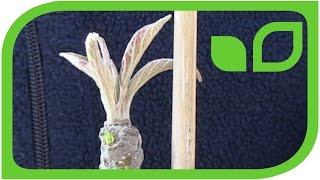 Wie kann ich Seitentriebe bei Säulenapfelbäumen verhindern?