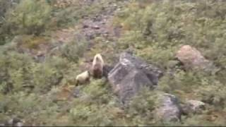 Video Close call with a Grizzly Bear  (hilarious audio) MP3, 3GP, MP4, WEBM, AVI, FLV Agustus 2017