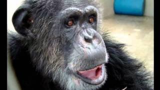 Superstar Tarzan chimp Cheetah dies