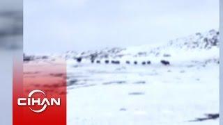 Domuzların köye saldırısını görüntüleyen çoban: Çok tırstım