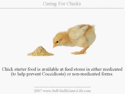 Chicks - Guide To Raising Baby Chicks