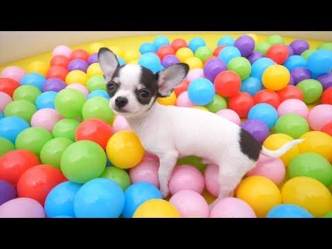 Lagu Anak Helly Guk Guk Guk Anjing Kecil Lucu Mandi Bola - Puppy Dog Ball Pit Balls
