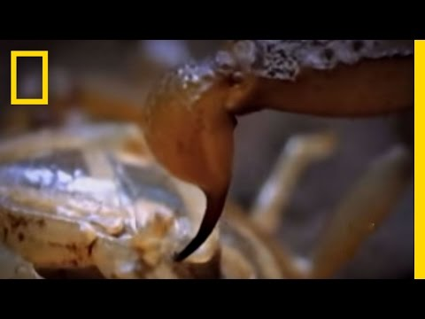 SCORPIONS - Scorpions take on other scorpions in this cannibalistic special! Shrew calls winner! See All National Geographic Videos http://video.nationalgeographic.com/v...
