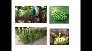 কলার (Banana) উৎপাদন কলাকৌশল