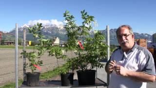 #657 Die Pimpernuss - Staphylea pinnata und colchica