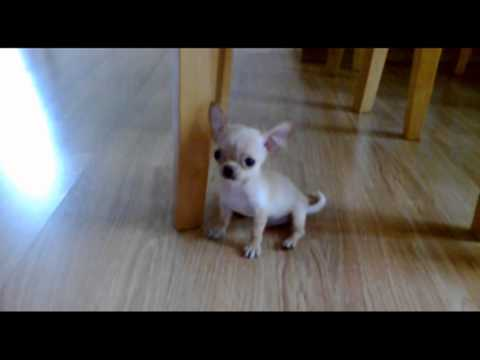 """Papi"" Cute Tan Smooth Coat Chihuahua Puppy for Sale"