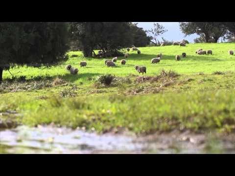 Ovinocultura em Pinheiro Machado