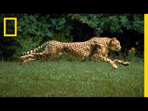 Karşınızda Ağır Çekim Görüntüleriyle Çita