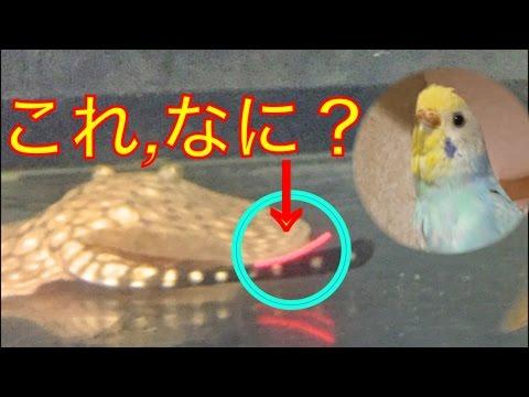 【陽海と一緒】淡水エイの尻尾の…これ,なに?