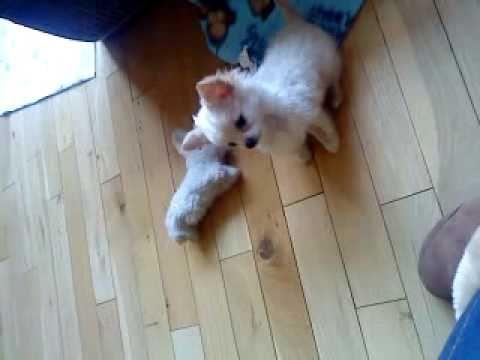 Cute chihuahua puppy barking!!!