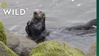 Sea Otters Open Mussels on Stone Anvils | Nat Geo Wild by Nat Geo WILD