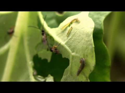 Parasitoid wasps sensing moth-induced volatile emissions from broccoli leaf