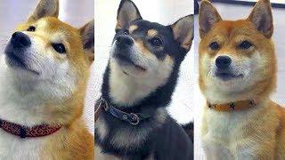柴犬3匹が本作の魅力を語る!?ドラマ『柴公園』キャスト犬インタビュー