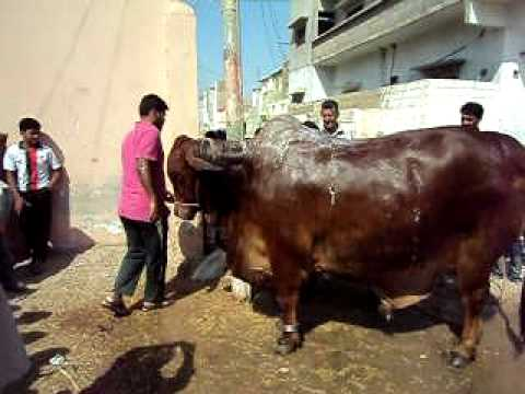 Qurbani in landhi 2011 (Prince of Karachi taking bath)