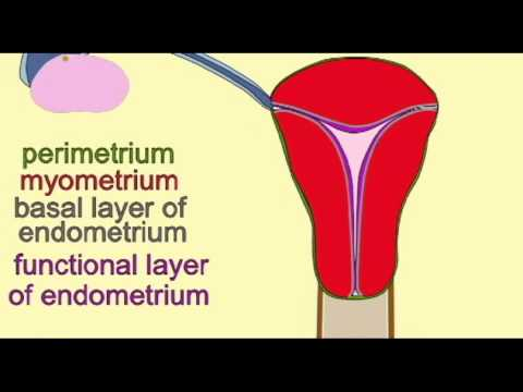 endometrium - MENSTRUAL CYCLE: CHANGES IN THE ENDOMETRIUM.