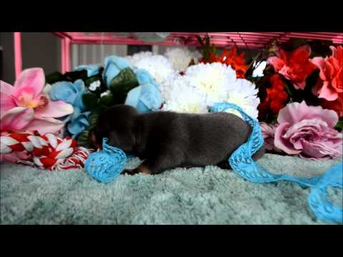 Maverick AKC Blue Tan Male Miniature Dachshund Puppy for sale