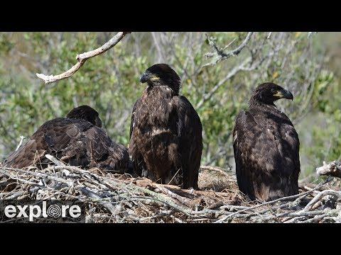 Vögel - Weißkopfseeadler / Bald Eagle - Nest (Fras ...