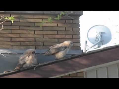 2 gufi si riposano sul tetto ma uno di loro ha un piano diabolico!