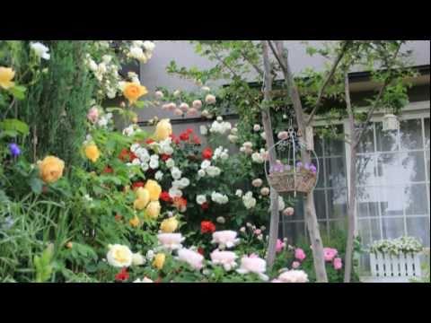 薔薇 - 今年もお友達の汗の結晶の素敵なバラのお庭へ・・・、バラの香りと楽しいひと時・・・最高です♪~