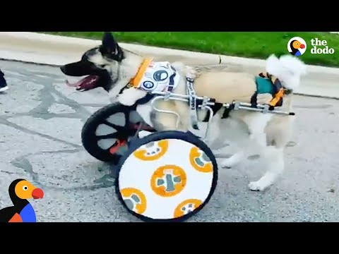 Star Wars Pets: Dog Gets Star Wars Themed Wheelchair & More Pet Heroes    The Dodo Episode Top 5